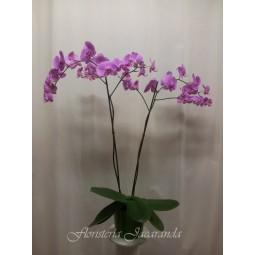 Orquídea phalaenopsis de 2...