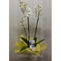 Orquídea phalaenopsis de 3...